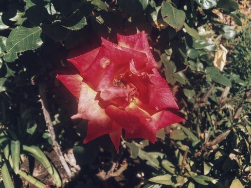 Pop of Rose